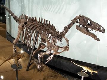 カンプトサウルス標本